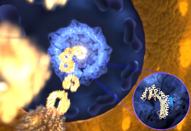 The ultrafast and yet selective binding allows the receptor (gold) to rapidly travel through the pore filled with disordered proteins (blue) into the nucleus, while any unwanted molecules are kept outside. IMAGE: Mercadante /HITS